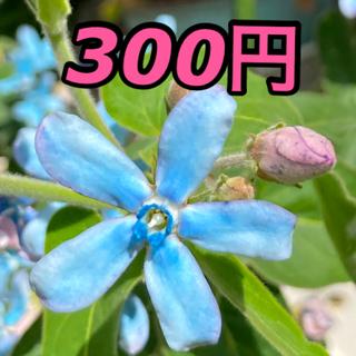 お得❗️ オキシペタラム  ブルー 2〜3苗 ポットで(プランター)