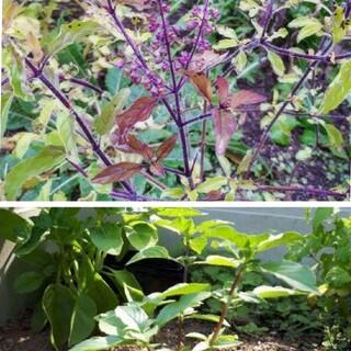 ホーリーバジルとクリシュナトゥルシーの種2種類セット(野菜)