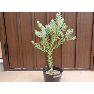 アカシアブルーブッシュ ポット苗12 観葉植物 シンボルツリーに♪ミモザ苗木(プランター)