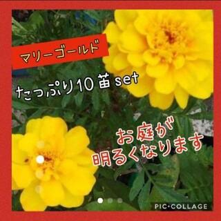 マリーゴールド  花苗 10株setイエロー(その他)