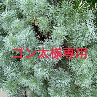 ⭐️アサギリソウ⭐️挿し穂・10本⭐️(その他)