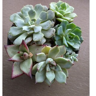 多肉植物 韓国苗6種ミニセット(その他)