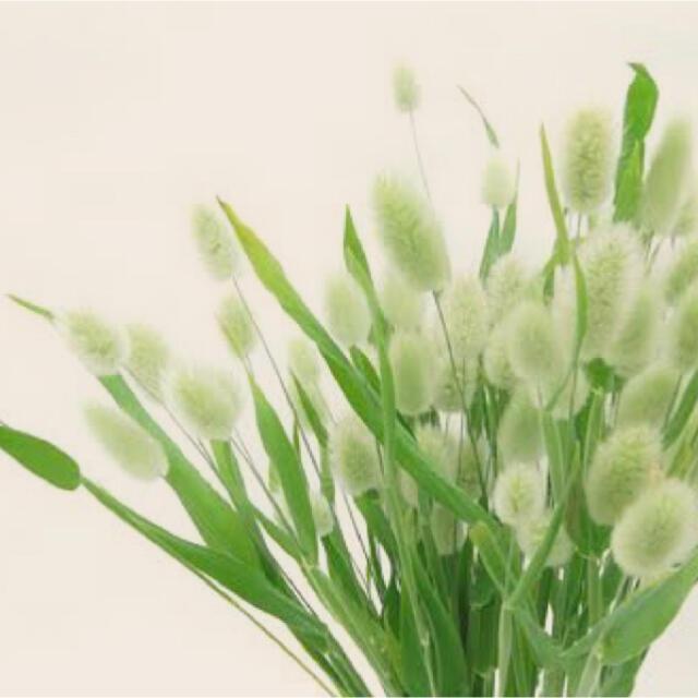 バニーテール種 100粒 ハンドメイドのフラワー/ガーデン(ドライフラワー)の商品写真