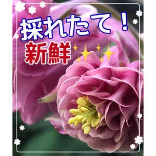 種 オダマキ タワー咲きピンク50粒(その他)