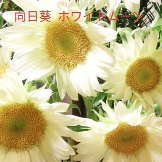 向日葵  8粒  白花  種  ホワイトムーン(その他)