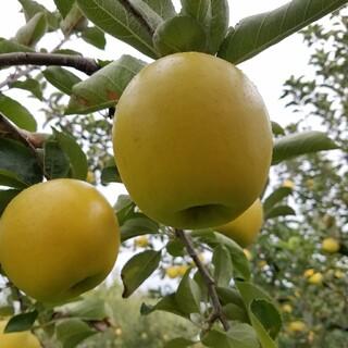 シナノゴールド、シナノスイート家庭用10kg(フルーツ)