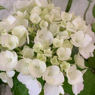 ★白のフリルが可愛い紫陽花・挿し穂3本★(その他)