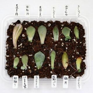 多肉植物   葉挿し  12種セット  見返美人錦など(その他)