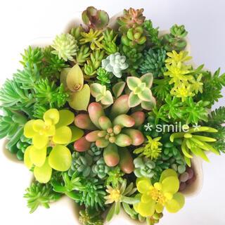 多肉植物 夏色セダム カット苗(その他)