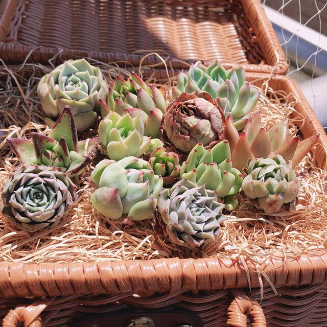 SALE‼️韓国多肉植物 13種セットお名前つけます ハンドメイドのフラワー/ガーデン(その他)の商品写真
