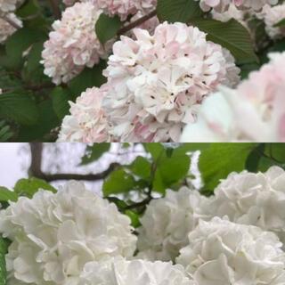 オオデマリ ピンクと白 挿し穂 各3本(その他)