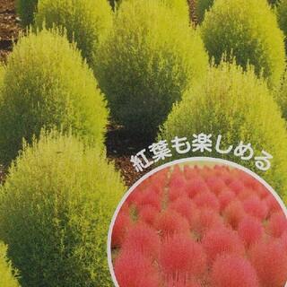 花の種       コキア+おまけ(その他)