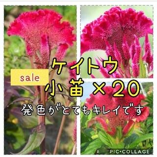 タイムセール ケイトウ 小苗×20苗(その他)