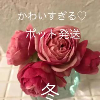 Aポット発送(ᵔᴥᵔ)ミニバラ♡カルーセル♡コルダーナ♡アンティークなお庭(その他)