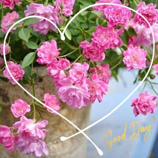 ◆お部屋でも♪お洒落で愛らしいミニバラ苗挿し木用『挿し穂』2本セット(その他)
