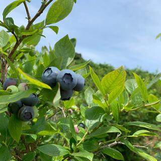 ブルーベリー 無農薬 750グラム(フルーツ)