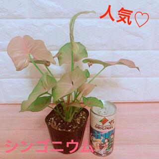 人気♡ アンティークピンク シンゴニウム ピンク 苗 ポットごと(その他)