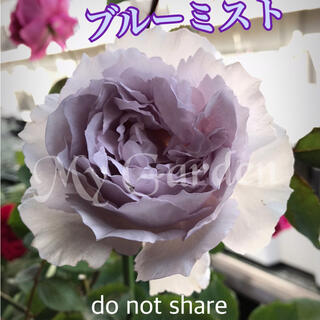 ♥️PRADO888様ご専用【希少】バラ 挿し穂 穂木(その他)