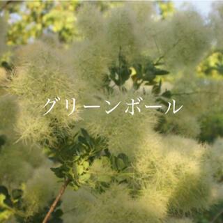 スモークツリー 苗 グリーンボール 3.5号ポット 苗木(ドライフラワー)