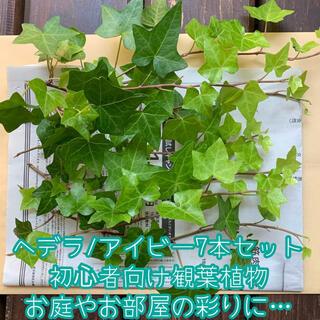 ヘデラ/アイビー7本セット*初心者向け観葉植物*本数追加可能1本20円*ネコポス(野菜)