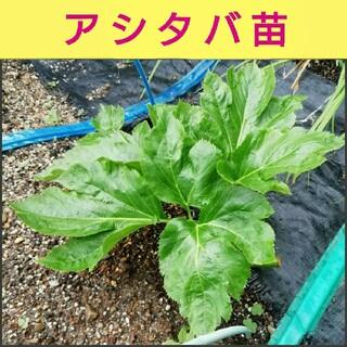アシタバ1苗、アップルミント5苗、アロエ6苗根付1苗、よもぎ3苗(野菜)