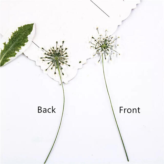 【茎付き♥アリッサム】ハンドメイド用《押し花》ドライフラワー レジンクラフトに ハンドメイドのフラワー/ガーデン(ドライフラワー)の商品写真