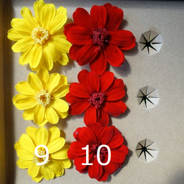 プリザーブド・ジニア 12輪 お徳用 バラ売りも出来ます ハンドメイドのフラワー/ガーデン(ドライフラワー)の商品写真