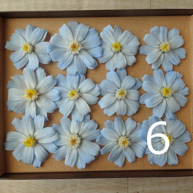 プリザーブド・ジニア(グラデーション)12輪 お徳用 バラ売りも出来ます ハンドメイドのフラワー/ガーデン(ドライフラワー)の商品写真
