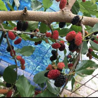 無農薬 マルベリー  クワの実 冷凍 1kg フルーツ(フルーツ)