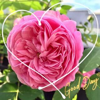◆発育旺盛な美形つるバラ苗挿し木用『挿し穂』2本セット(その他)