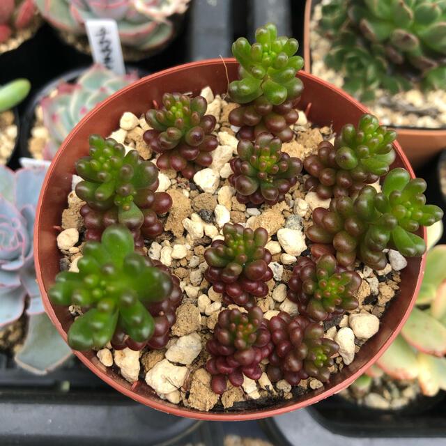 多肉植物 レッドベリー  ハンドメイドのフラワー/ガーデン(その他)の商品写真