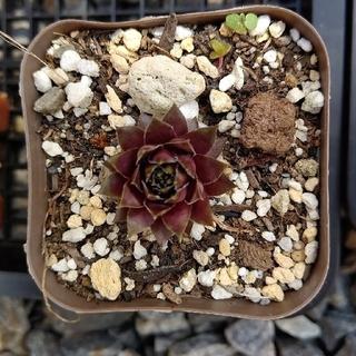 多肉植物 センペルビウム『レッドチーフ』(その他)