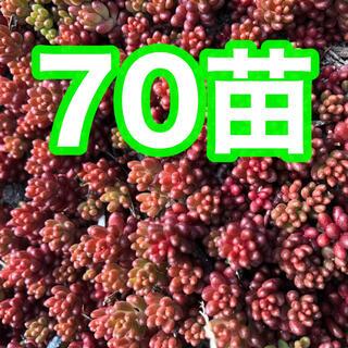 21多肉植物 赤く紅葉するセダム コーラルカーペット 苗70苗 即購入歓迎ゆ(その他)