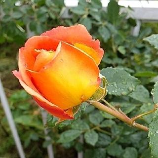 大輪薔薇 オレンジ 挿し木用カット苗3本+違う薔薇苗1本(プランター)