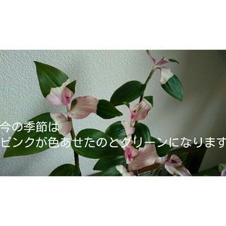 トラディスカンティア胡蝶の舞グリーン根付き(その他)