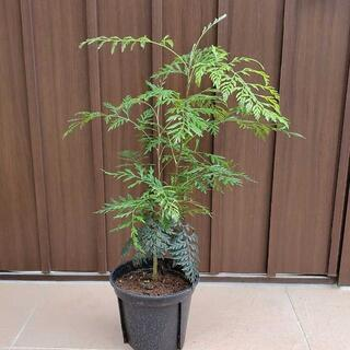 グレビレア ロブスタ 鉢植え 観葉植物 ネイティブフラワー 苗木 レア 希少(プランター)