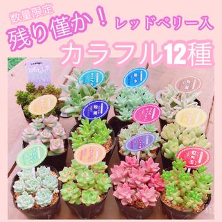 在庫僅か! ルポゼ 多肉植物 カラフル12種(1種ずつ×12カット)(その他)