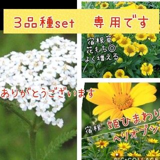 花苗 3品種18苗set(その他)