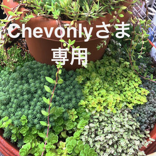 Chevonlyさま専用 多肉植物 おまかせカット苗(その他)