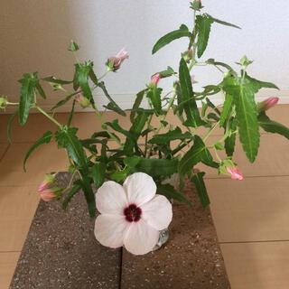 高砂芙蓉の種(その他)