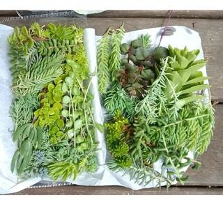 多肉植物 セダム ミックス 梱包込み 150g以上 888円(その他)