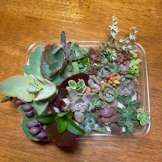 多肉植物 ちまちま寄せ植えセット カランコエ系(その他)