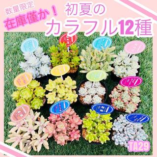 ルポゼ 多肉植物 カラフルカット苗(1カットずつ×12種)(その他)