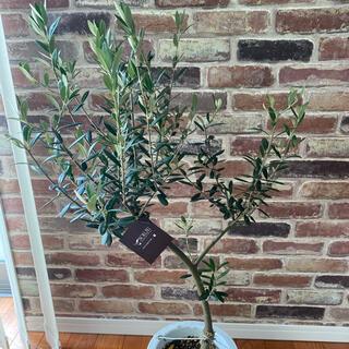 観葉植物 創樹(SOUJU)  幹太 オリーブの木 7号2(その他)