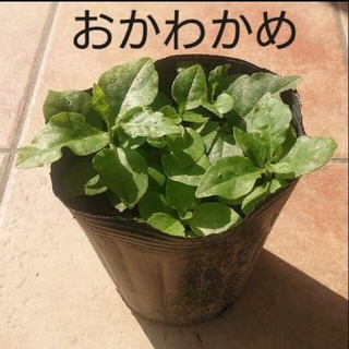おかわかめの苗   5株(野菜)