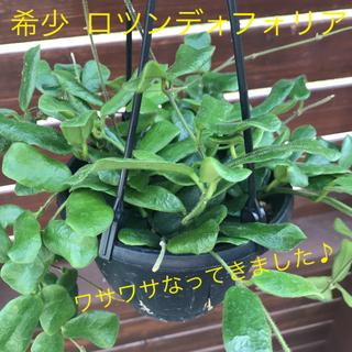 植物 ホヤ ロツンディフォリア 希少(吊り鉢)■ポトス モンステラ同梱割引あり■(プランター)