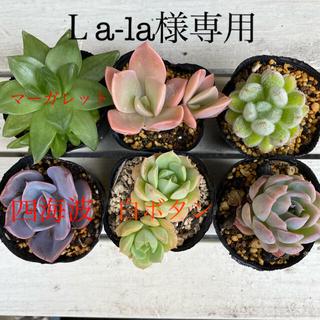 多肉植物  ⑤6個セット  抜き苗(その他)