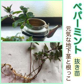 【ご購入後、新たに採取します】ペパーミント抜き苗★元気な地下茎と根っこです♪(その他)