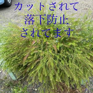 マメグンバイナズナ草☆栽培したもの(その他)