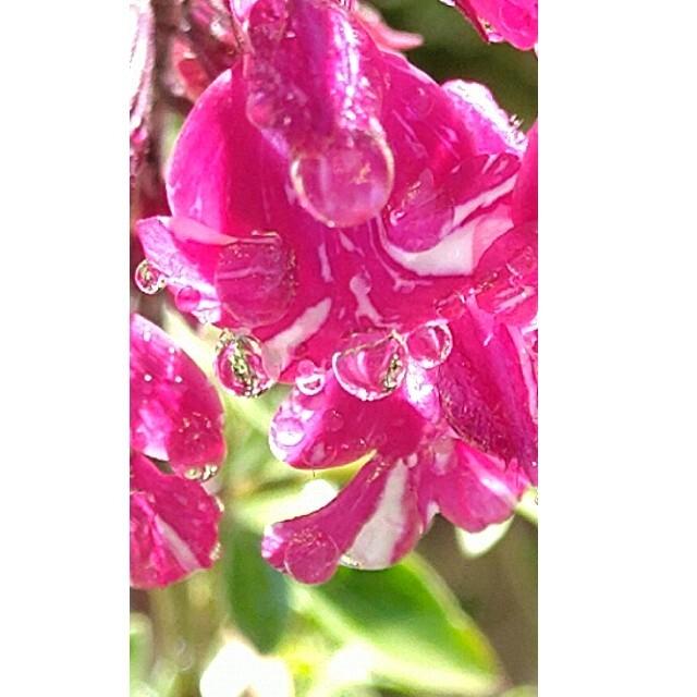 チェリーセージ パープルストリーム根付き苗 挿し穂なし ハンドメイドのフラワー/ガーデン(その他)の商品写真
